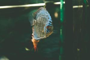 pez exótico symphysodon discus, en un acuario foto