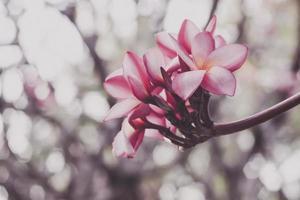 Pink Plumeria flower photo