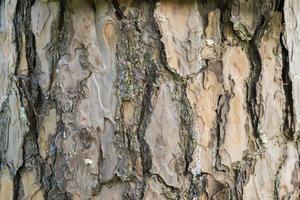 Hermosa corteza de pino en un bosque de pinos con musgo foto