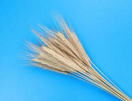 Spikelets of rye on a blue background. Simple flat lay. Harvest concept. Stock photo. photo