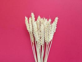 Spikelets of wheat on a red background. Simple flat lay with copy space. Stock photo. photo