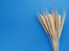Spikelets of rye on a blue background. Simple flat lay with copy space. Stock photo. photo
