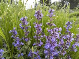 Lavender flowers. Stock photo. photo