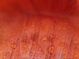 Macro poppy petal with raindrops on it. Stock photo. photo
