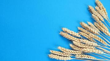 Spikelets of wheat on a blue background. Simple flat lay with copy space. Stock photo. photo