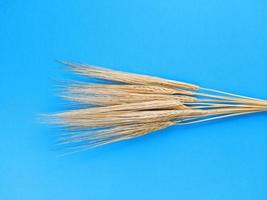 Spikelets of barley on a blue background. Simple flat lay. Harvest concept. Stock photo. photo