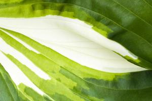 textura de la planta rropic del huésped, primer plano foto