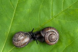 caracoles terrestres en la planta, primer plano foto