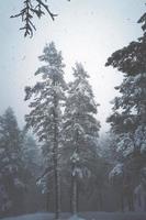 nieve en los pinos en el bosque foto