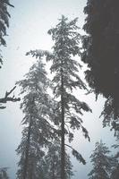 snow on the pine trees in the forest photo