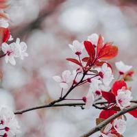 cherry blossom in springtime sakura flowers photo