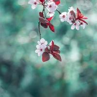 beautiful cherry blossom sakura flower photo