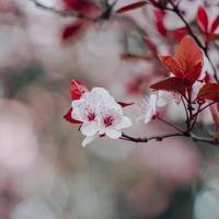 beautiful cherry blossom sakura flowers photo