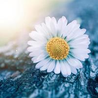 romantic daisy flower in spring season photo