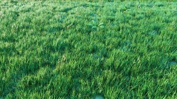Natural Lawn Grass CGI video