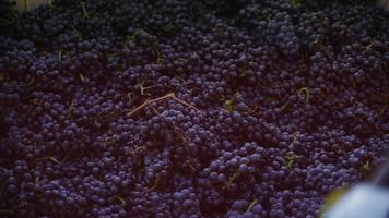 Oregon, USA - October 4, 2013 Harvesting wine grapes in vineyard. Shot on RED EPIC for high quality 4K, UHD, Ultra HD resolution. video