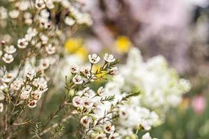 Arbusto en flor de erica con pequeñas flores en el jardín. tiempo de primavera. foto