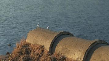 gaivotas no rio video