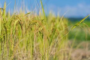 campo de arroz en la mañana bajo un cielo azul foto