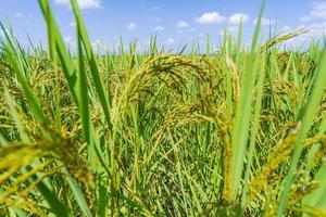 campo de arroz verde por la mañana bajo un cielo azul foto