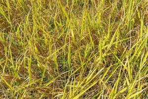 fondo de campo de arroz amarillo vista superior foto