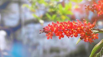 fiore di orchidea arancione rosso che sboccia e foglie verdi gialle e sfocatura sfondo blu della cascata waterfall video