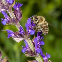 Honeybee in the spring is flying to a rosemary blossom photo