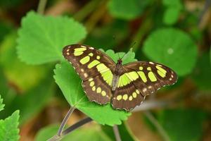 Imagen macro de mariposas malaquita de lepidópteros foto