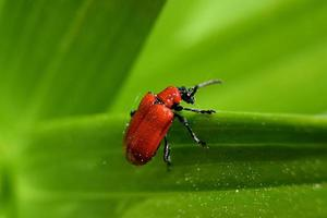 small red beetle on a green leaf photo