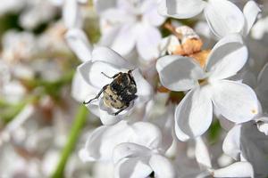 dark beetle between white flowers photo