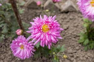 Close-up of a beautiful pink chrysanthemum flower with green leaves bloom in the garden. photo