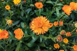 Close-up beautiful orange yellow calendula flowers bloom in the garden photo