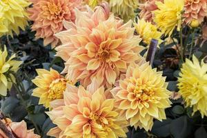 Close-up beautiful dahlia flowers with green leaves bloom in the garden. photo