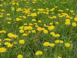 Field of yellow dandelions in spring photo