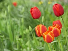 Red tulips bloom in the garden in spring photo