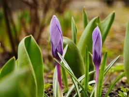 Crocus purple spring flowers primroses photo