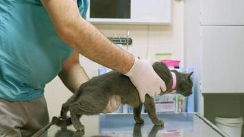 veterinário examina um gato video