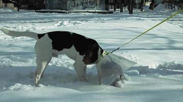 close-up em um cachorro usando uma coleira protetora video