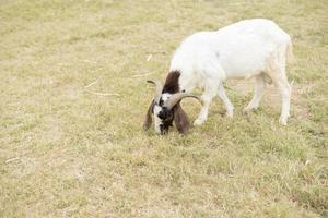 cabra en el campo foto