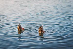 Dos patos reales buceando en el agua del lago foto