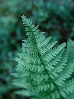 hoja de helecho verde con textura. helecho con hojas verdes sobre un fondo natural. bosque de vida silvestre. foto