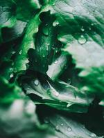 Macro view of fresh green lettuce leaves with water drops photo