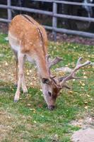 ciervos salvajes hábitat natural apto para familias parque salvaje foto