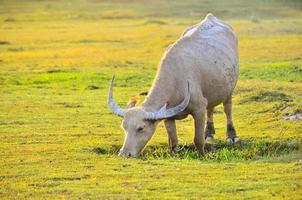 búfalo luz dorada pradera manada de búfalos foto