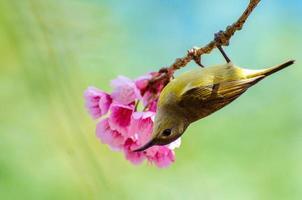 pájaro verde fondo azul encaramado en las flores de cerezo foto