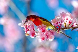 pájaro rojo fondo azul posado en las ramas sakura foto