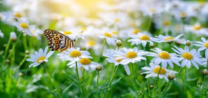 la mariposa amarillo-naranja está en las flores blancas rosadas en los campos de hierba verde foto