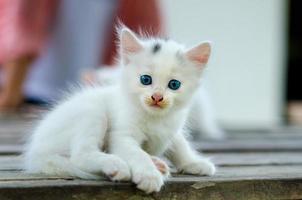 gato gatito blanco fondo borroso ojos azules foto