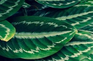 hojas calathea ornata pin raya fondo azul foto