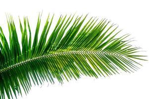 hojas de coco fondo blanco foto